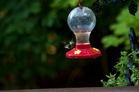 Hummingbirds July 2015